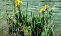 Invasive Yellow Iris