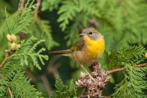 Nashville Warbler photo by Cody Christenson