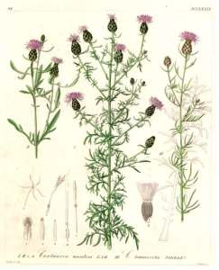 Line drawing of Spotted Knapweed