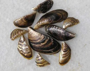 Zebra mussels - Iowa DNR