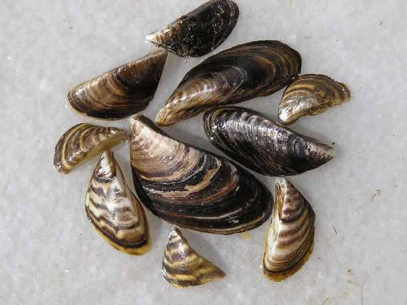 Zebra mussels - Iowa DNR
