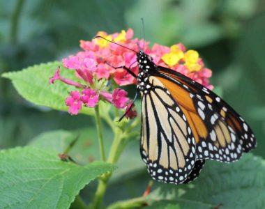 hero-monarch-flower