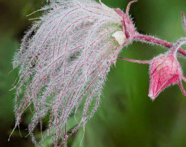 hero-pink-white-fuzzy-flower