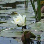 namekagon-paddle-lilys