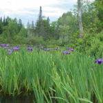 namekagon-paddle-paul-mary-irises