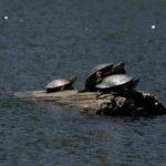 namekagon-paddle-turtles