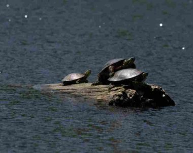 namekagon-paddle-turtles
