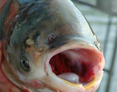 asian-carp_face2-Photo credit T. Lawrence, GLFC
