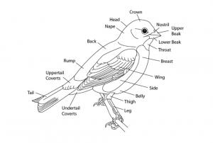 raaonline_birdingactivitysheets