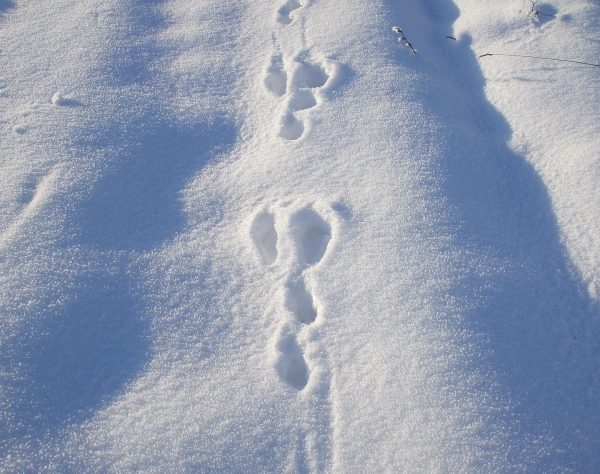Snowshoe hare tracks. (Photo Credit: Florentina-I from Pixabay)