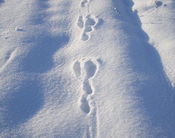 Snowshoe hare tracks. (Photo Credit: Florentina-I from Pixabay)