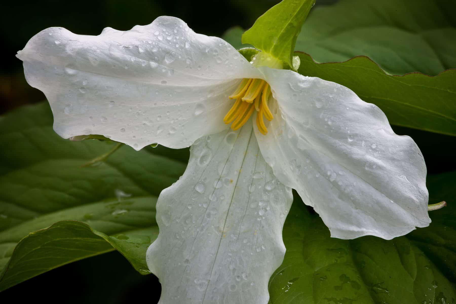 Large-flowered Trillium (Photo: Craig Blacklock)