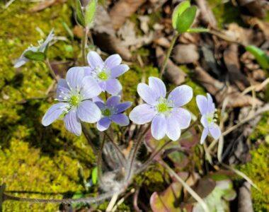 Hepatica. (Photo: Nikki Henger, Wild Rivers Conservancy)