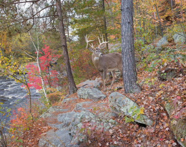 A whitetailed buck steps out of the forest. (Photo: Craig Blacklock)